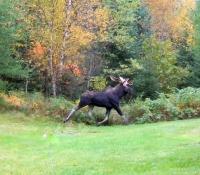 Moose at Treats and Treasures. Brian Rugg - Copy